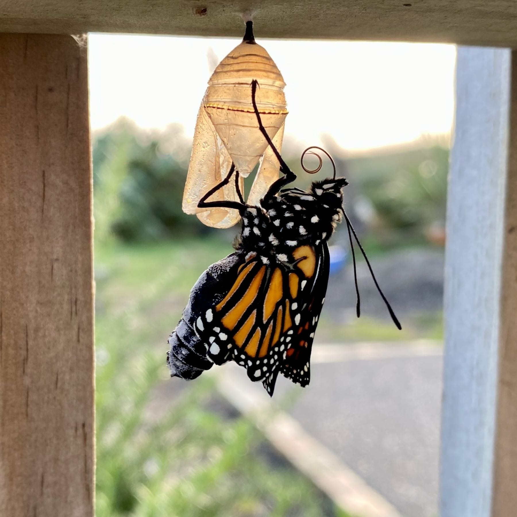 Monarch butterfly clinging onto its chrysalis.