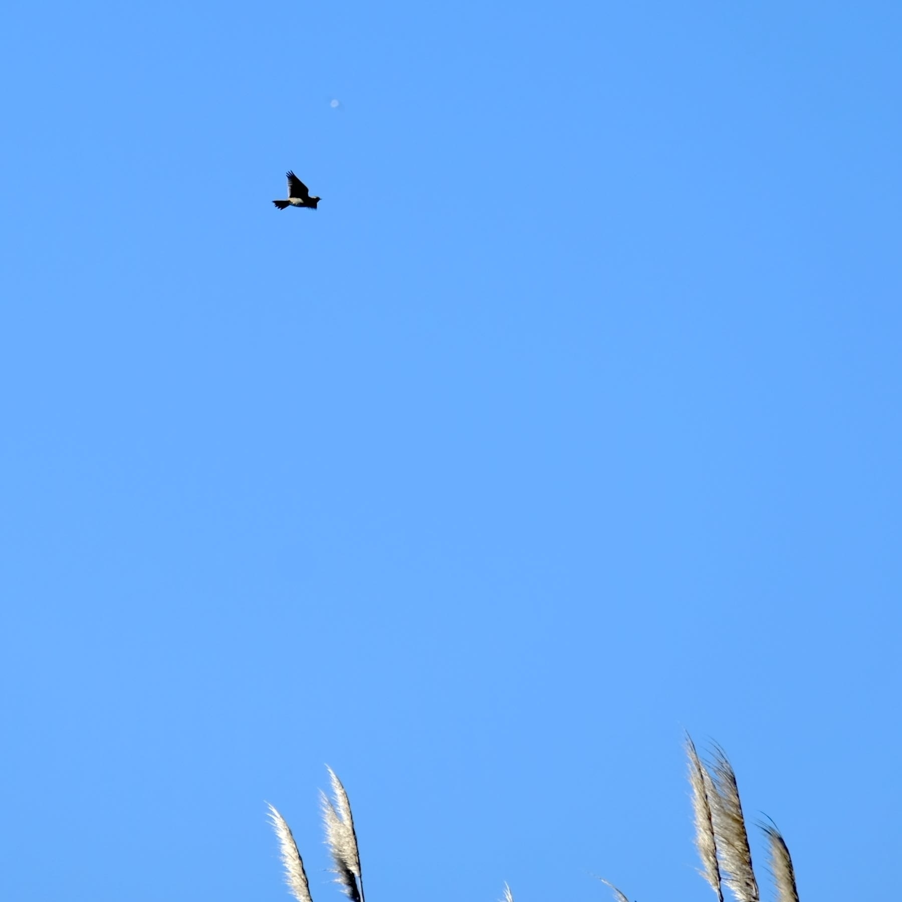 Small bird flying with outstretched wings.