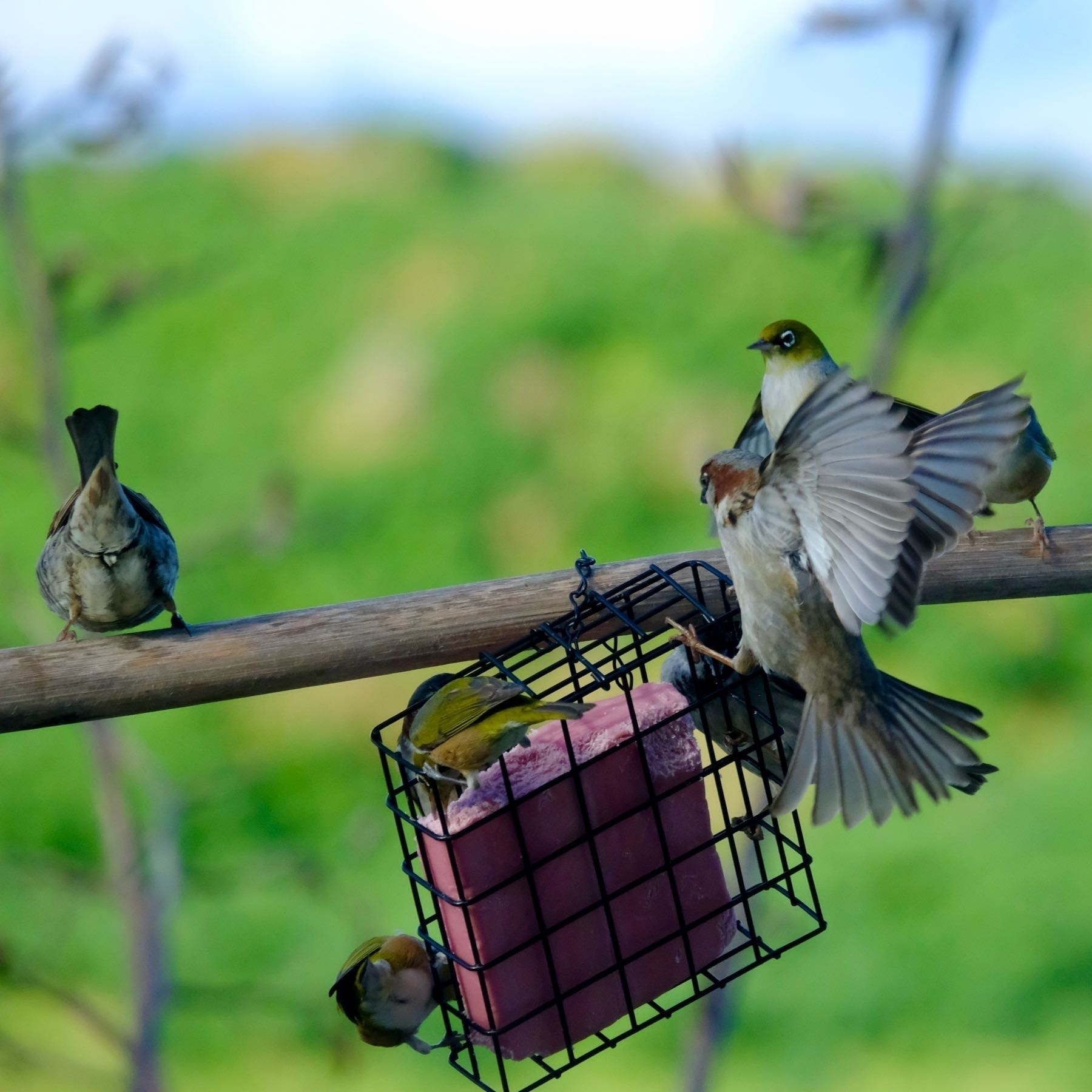 SParrow landing with open wings.