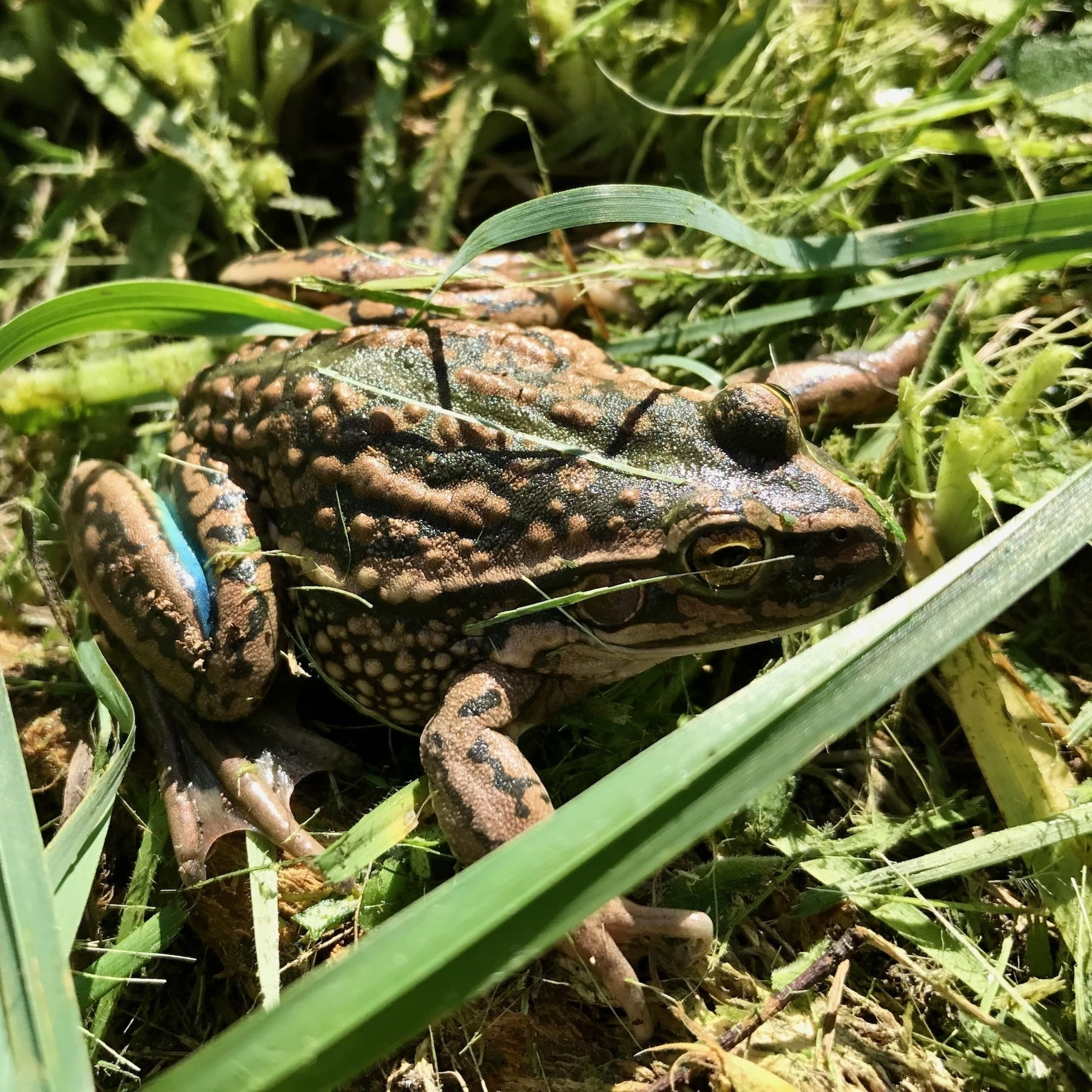 Frog in grass.