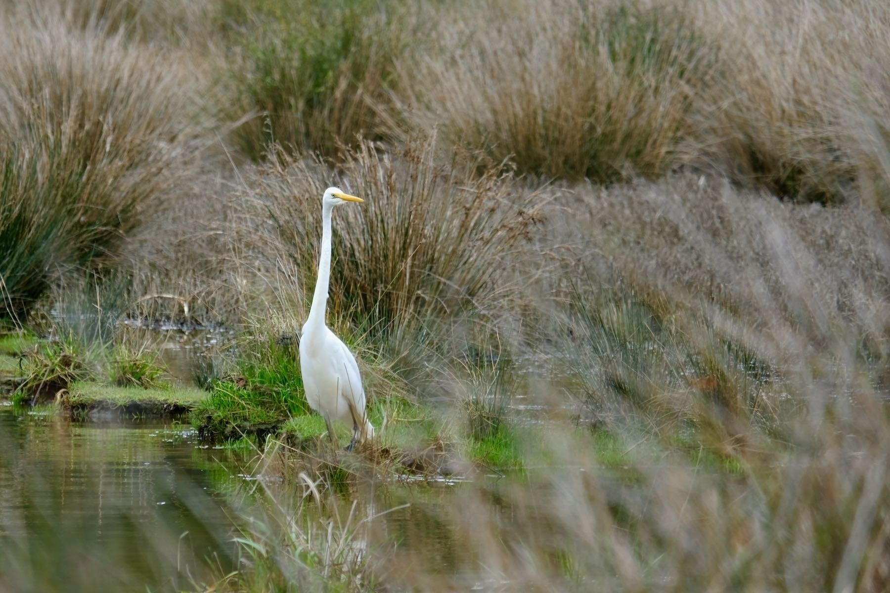Very large white bird at water's edge, with neck extended.