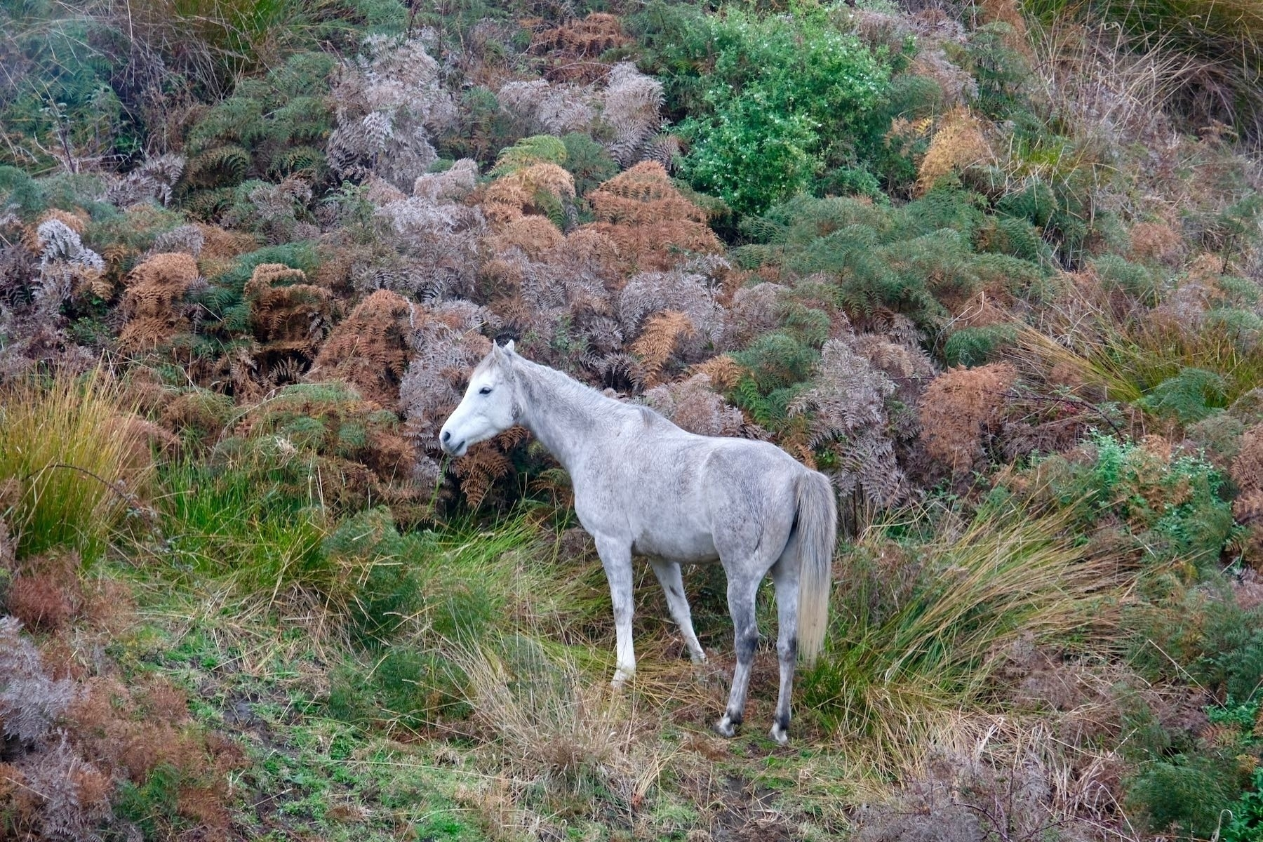 Grey and white horse amongst brown and green bracken.