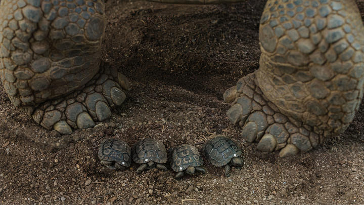 Two feet of a parent tortoise with 4 tiny tortoises placed between them.