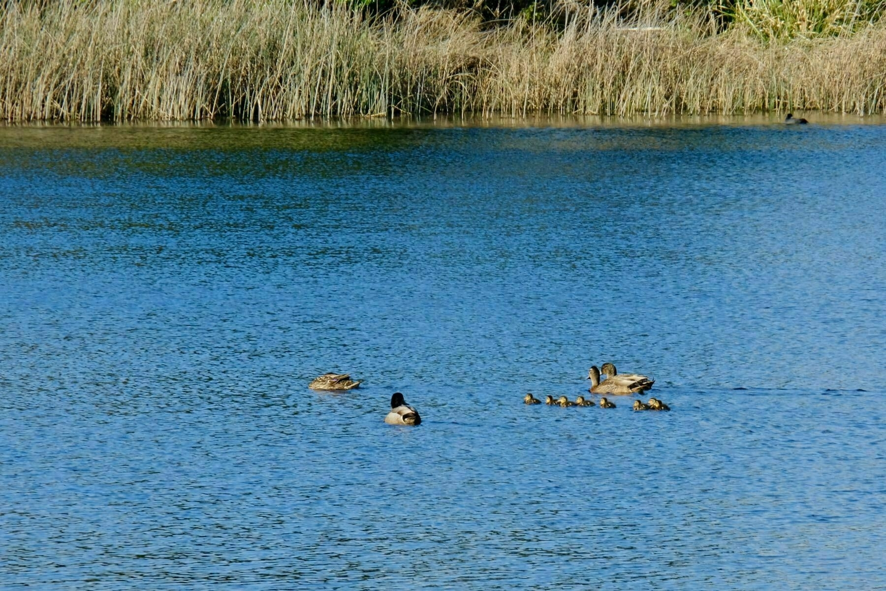 4 ducks and 7 tiny ducklings on a lake.