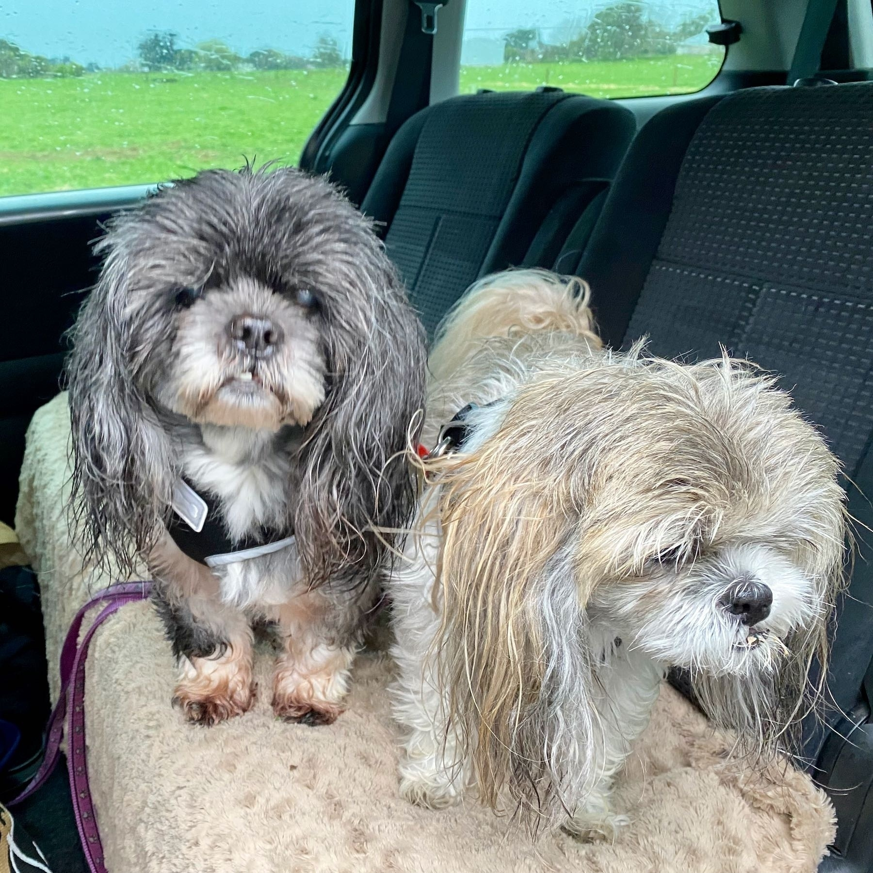 Two shaggy small dogs.