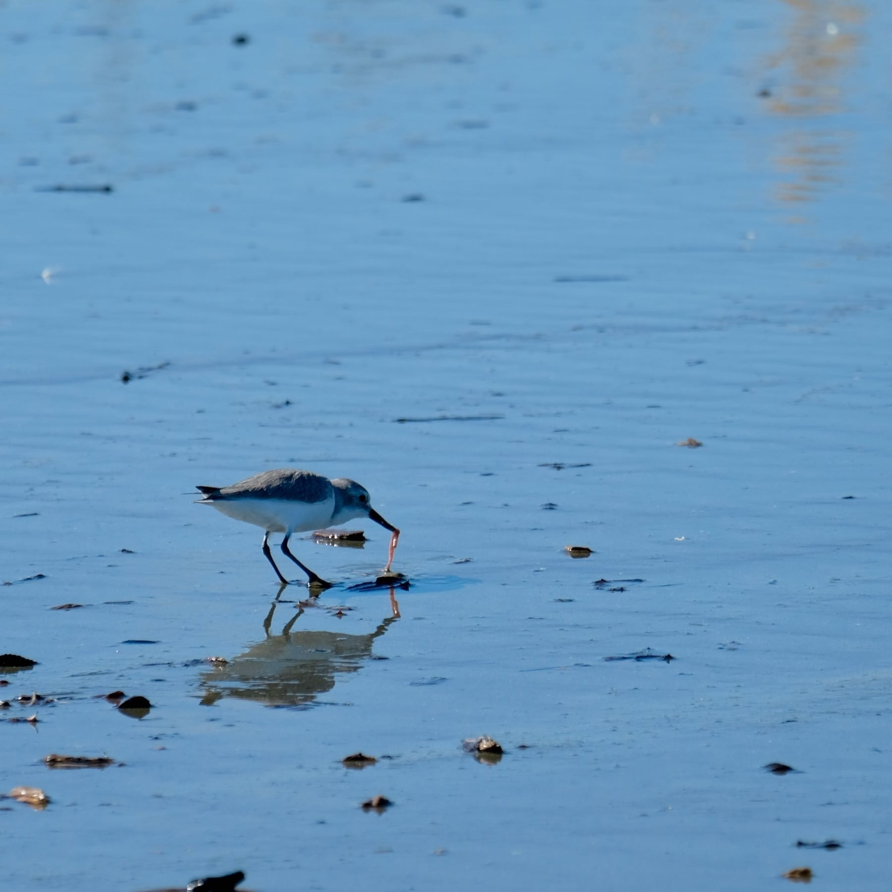 Small bird plucking a meal from wet sand.