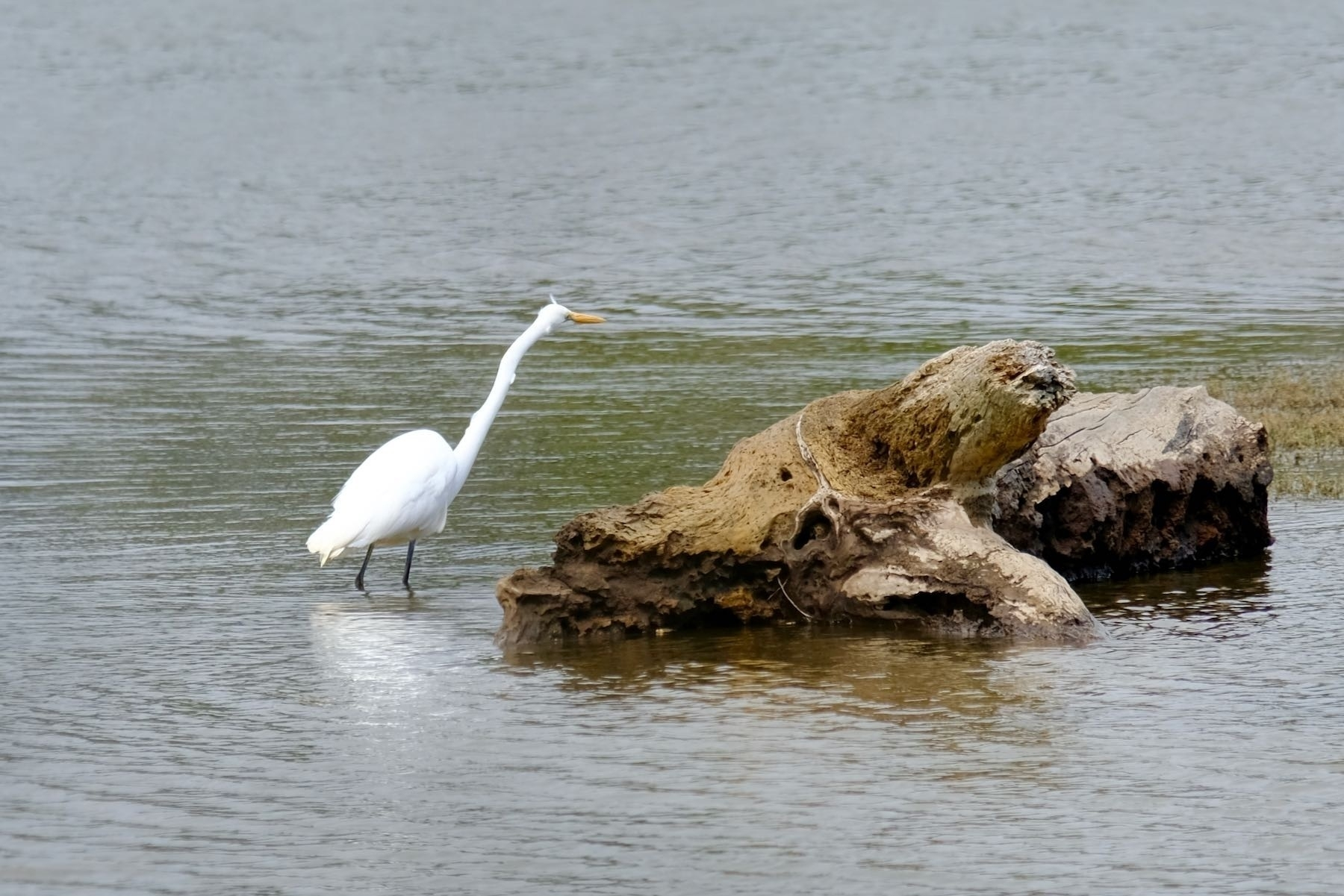 Large white bird with very long neck beside a rock.