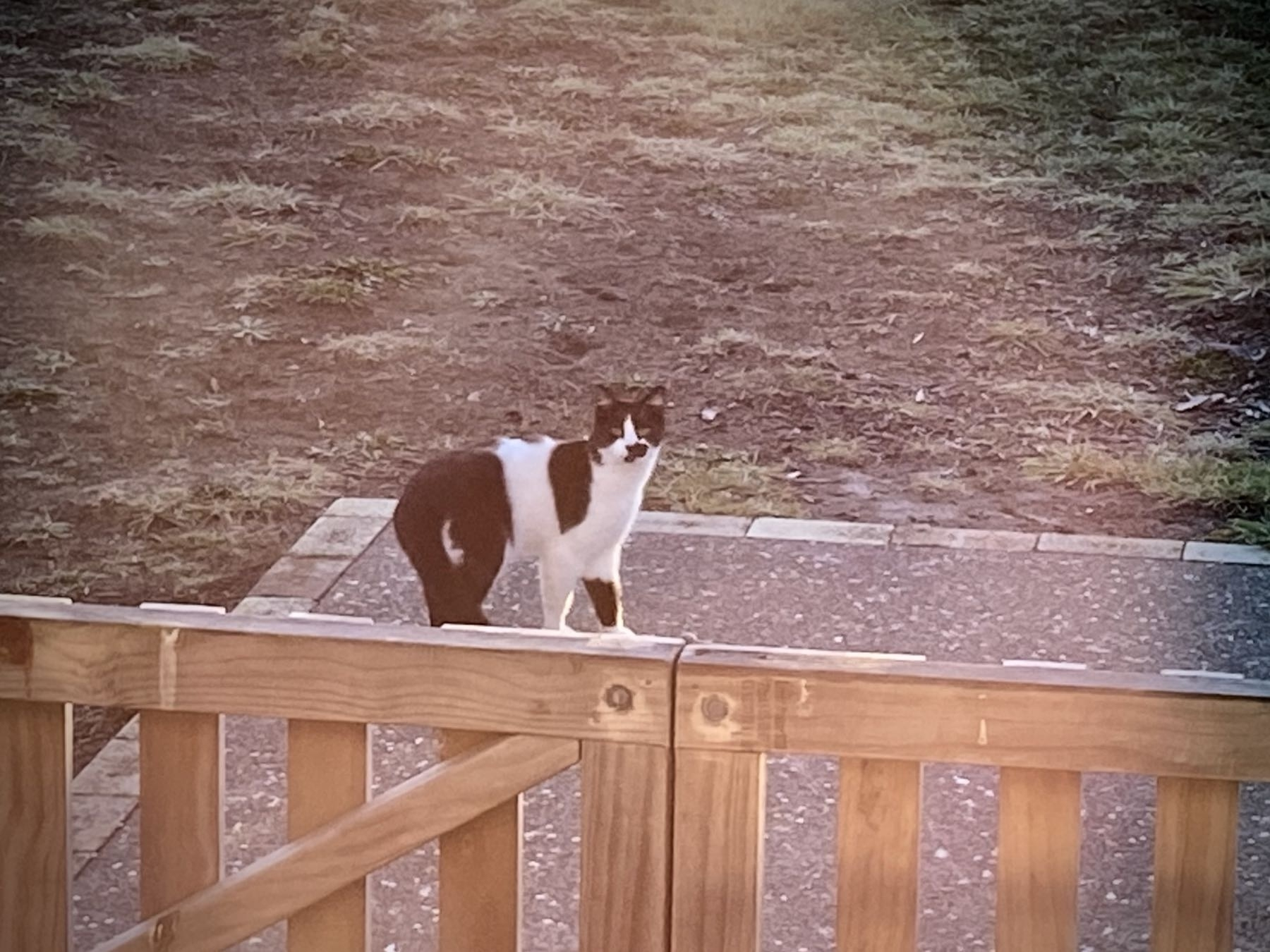Black and white cat in front of our gate.