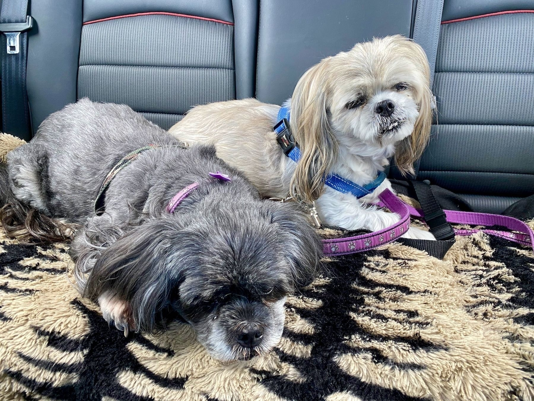 Two small dogs in a car.