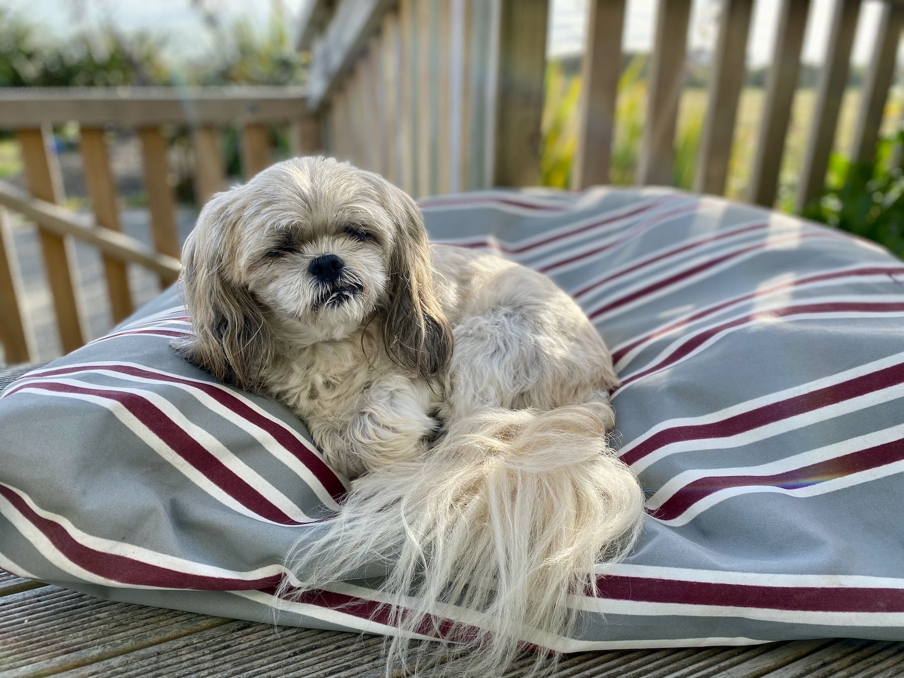 Small white dog on a stripey outdoor dog bed.