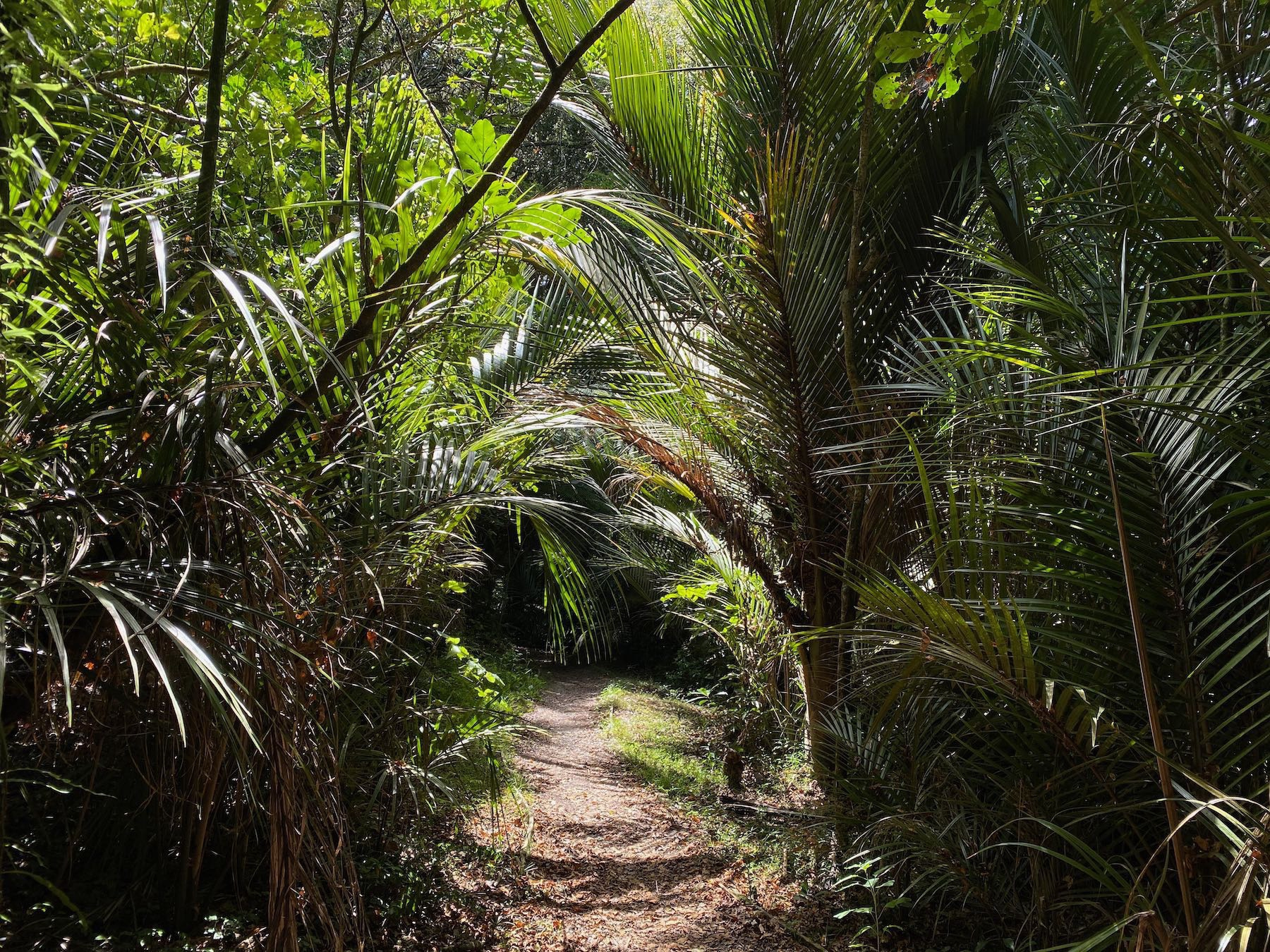A sunlit part of the track under nikau palms.