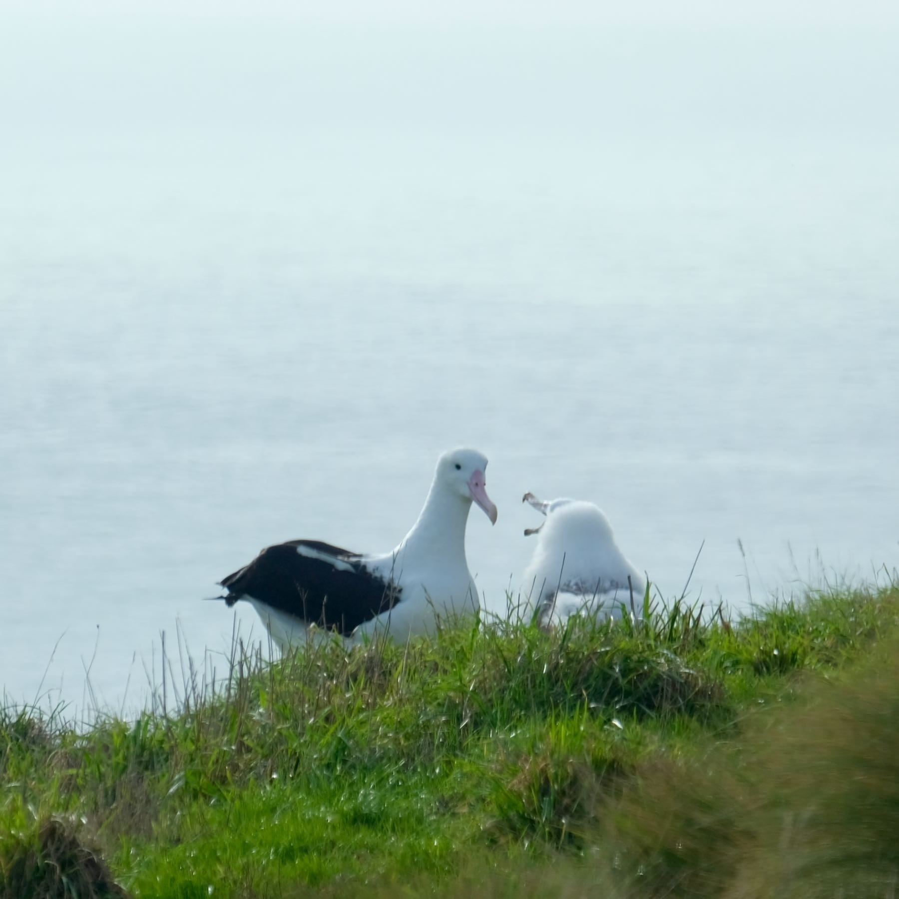 Adult and chick albatross.