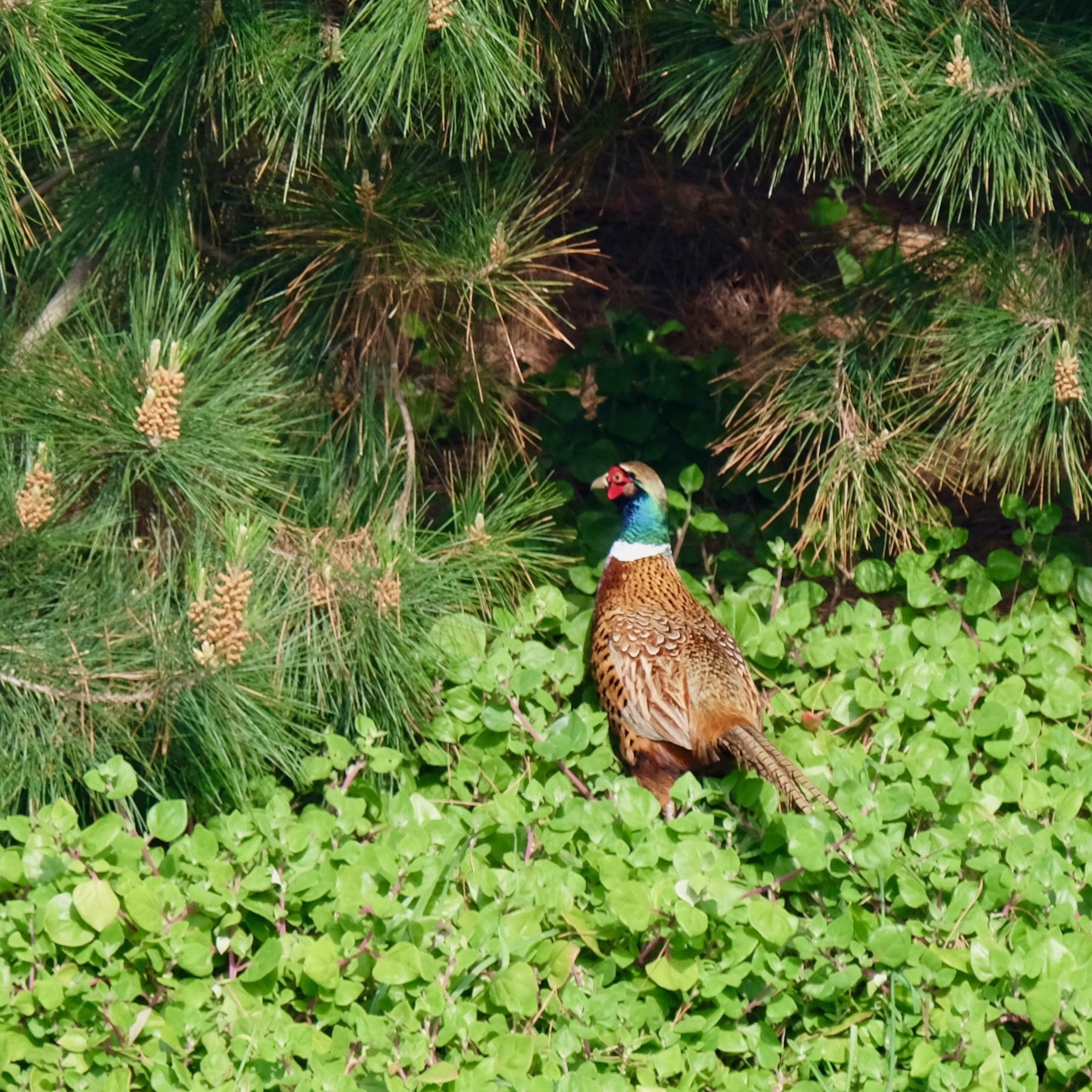 Male pheasant with shiny green neck with a white ring as the base and long tail, amongst weeds and trees.