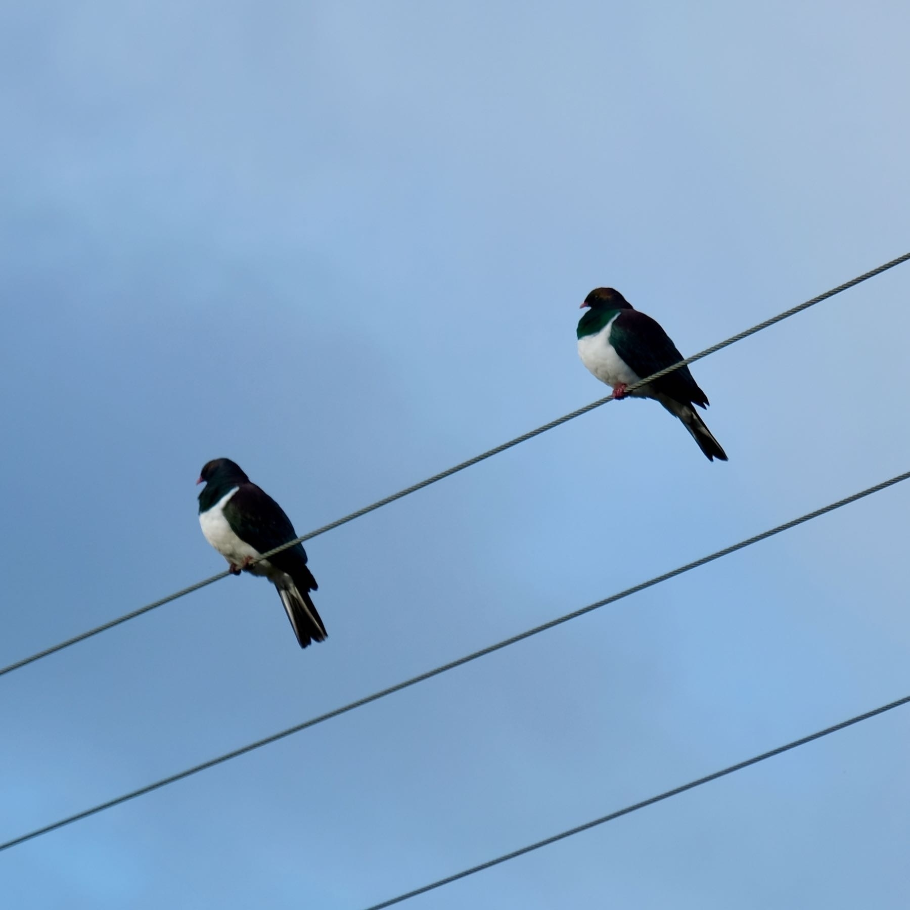 Two large birds on a power line.