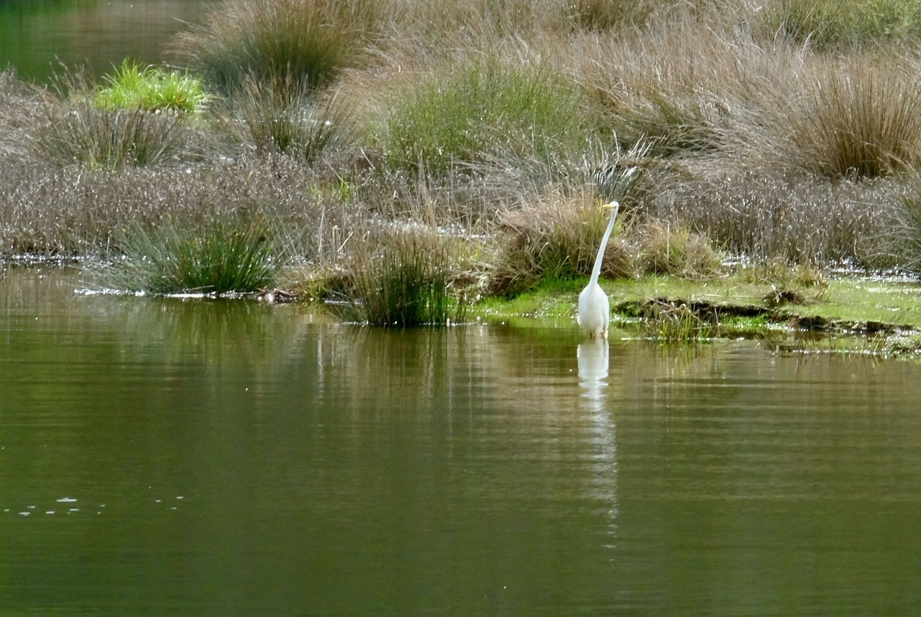 Large white bird wading with neck extended at an unusual angle.