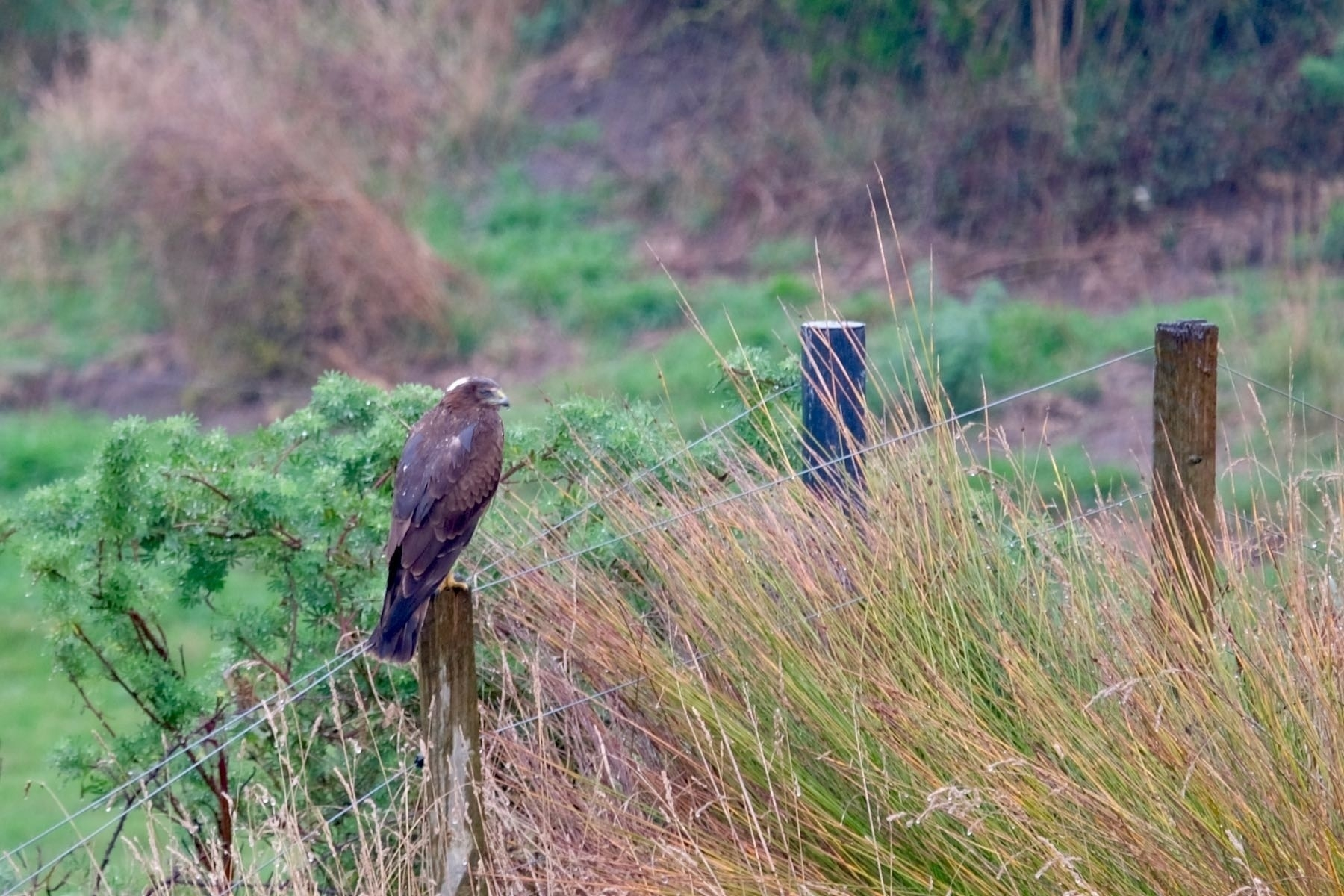 Hawk with head turned, on a fence post.