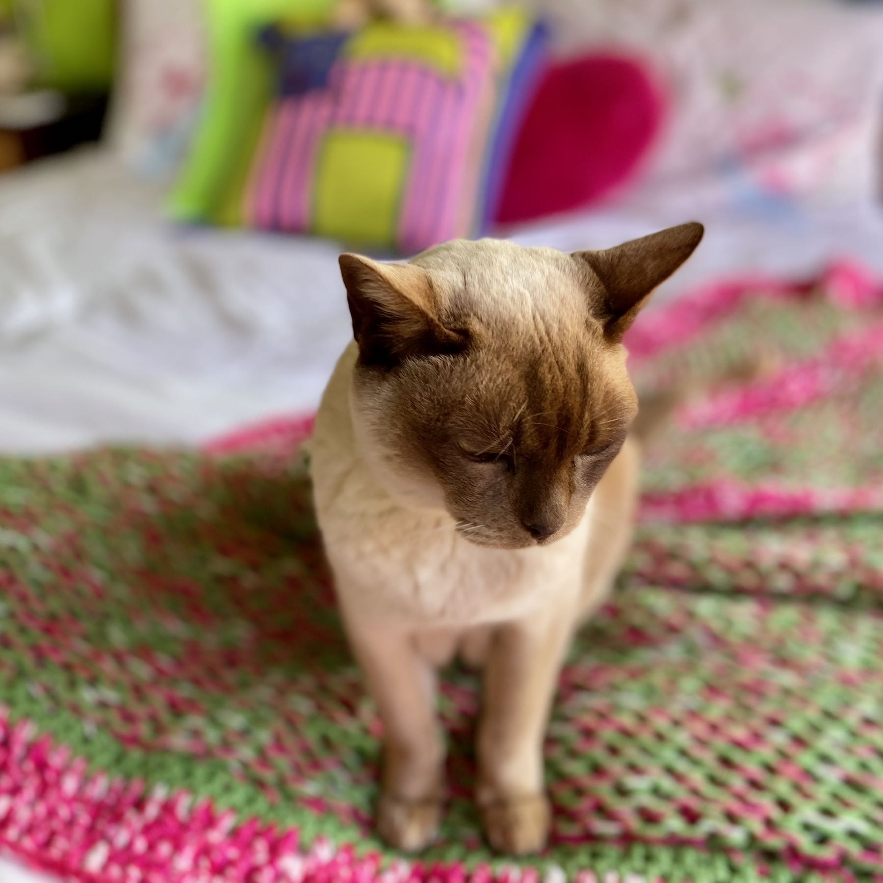 Seal point Burmese cat on a bed.