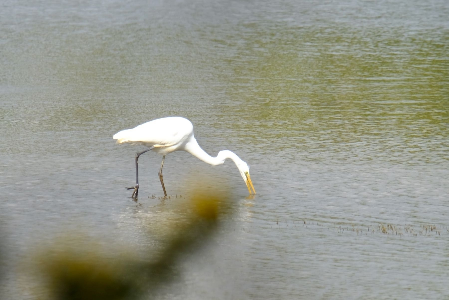 Large white bird wading and feeding in the river.