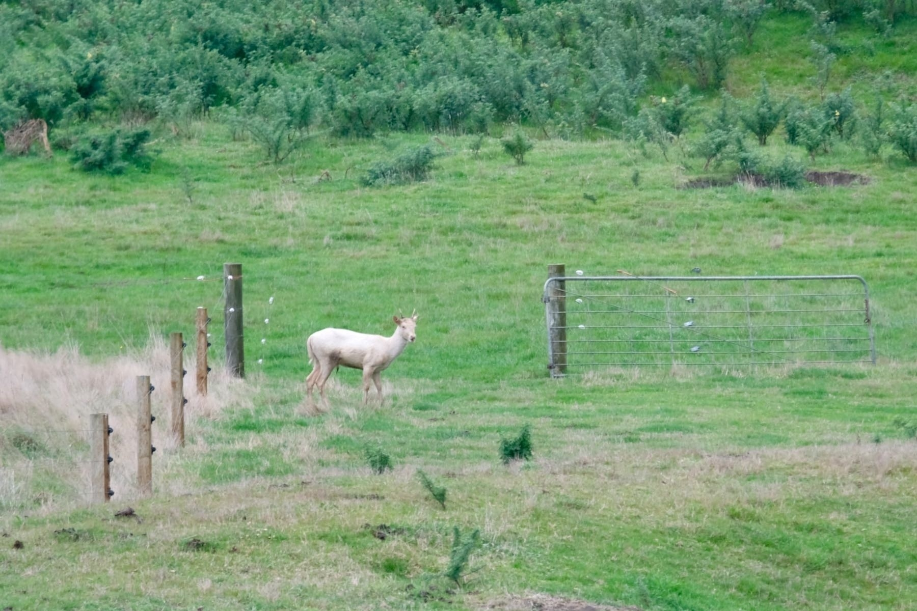 Pale coloured deer with small horns in a paddock.
