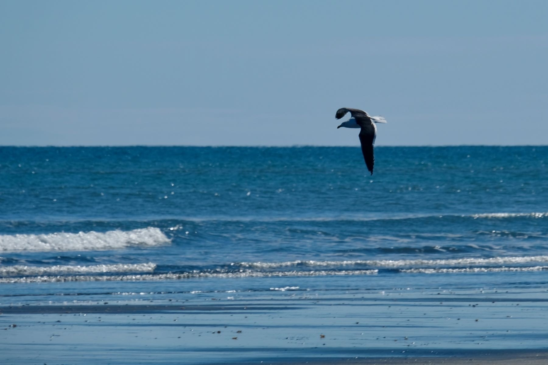 Flying gull, above the horizon, with wings bent downward.