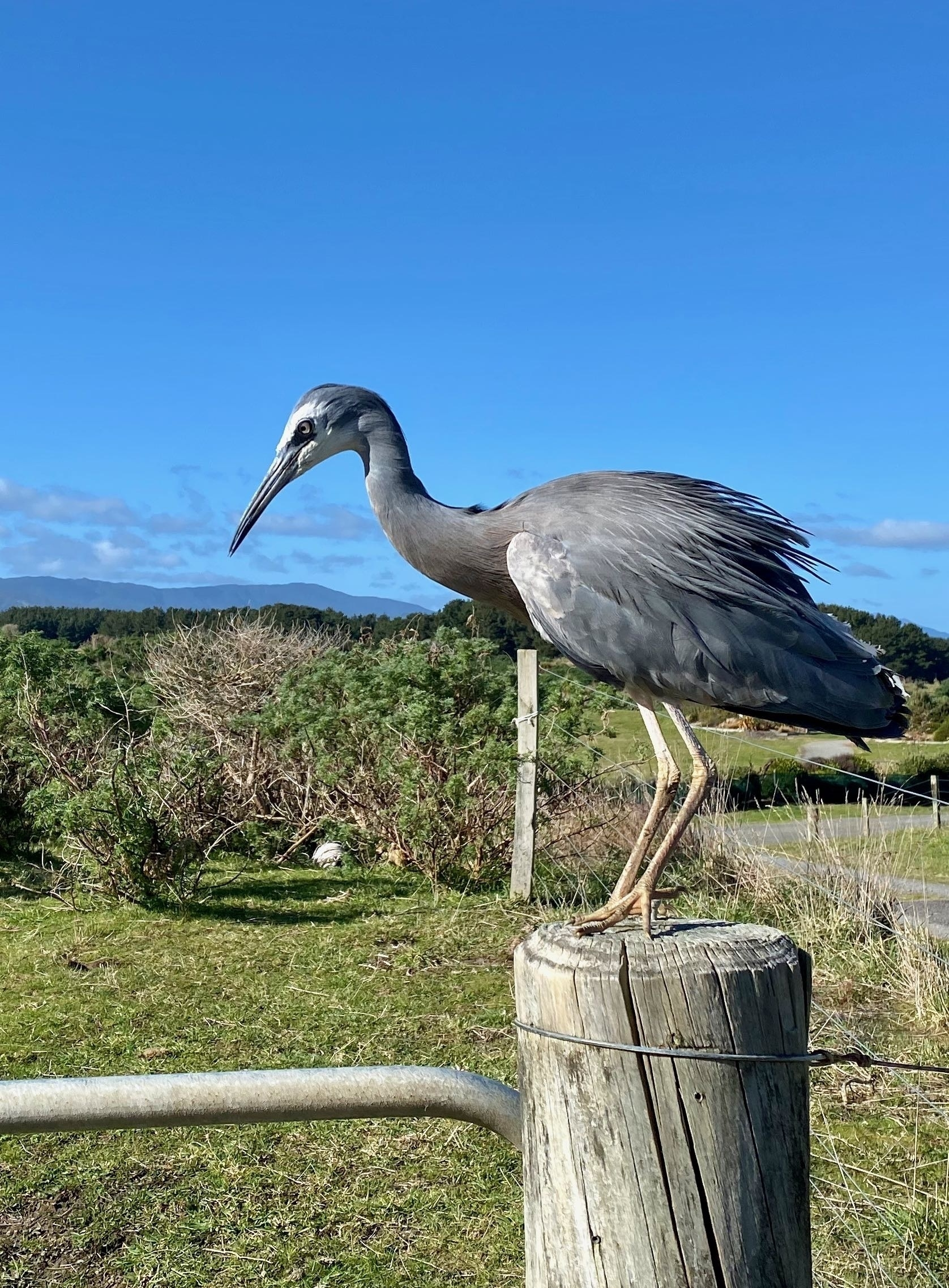 White-faced heron on a fence post with rich blue sky behind. Different posture.